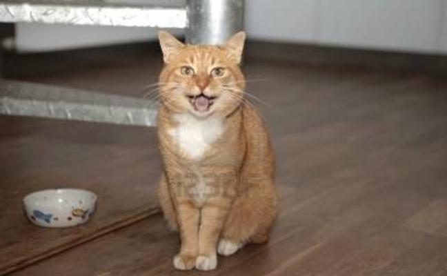 ¿Por qué maúllan los gatos?