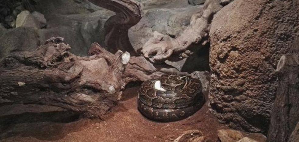 La serpiente más grande de África pone sus huevos en Bioparc Valencia