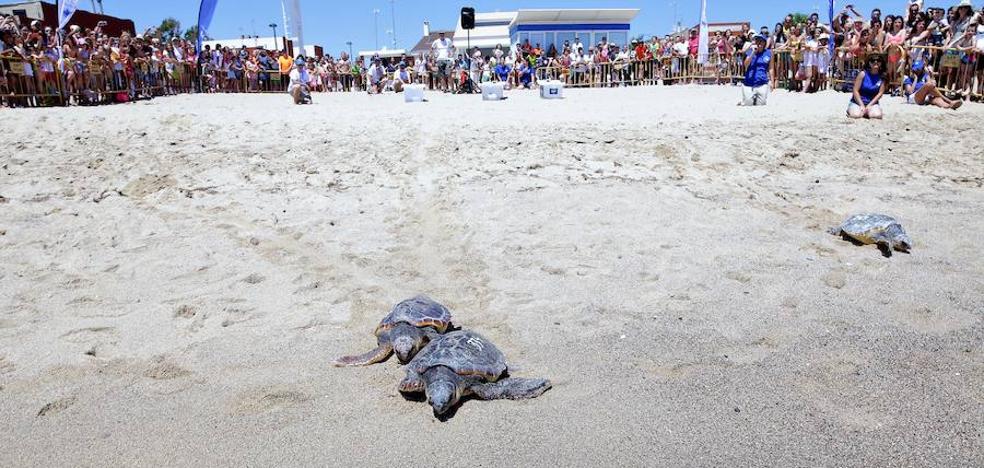 El Oceanogràfic libera tres tortugas recuperadas en sus instalaciones