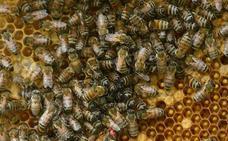 Retiran 60.000 abejas de un panal en el tejado de una casa en El Campello