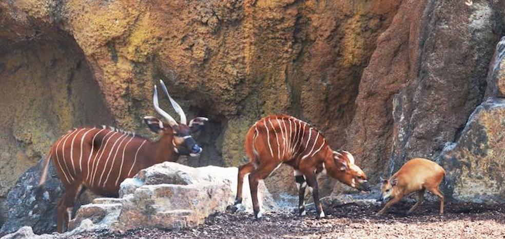 Nace en Bioparc un bongo oriental, un antílope en peligro de extinción