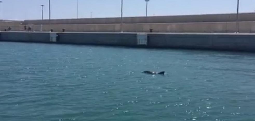 Una cría de delfín se deja ver en la Marina de Valencia