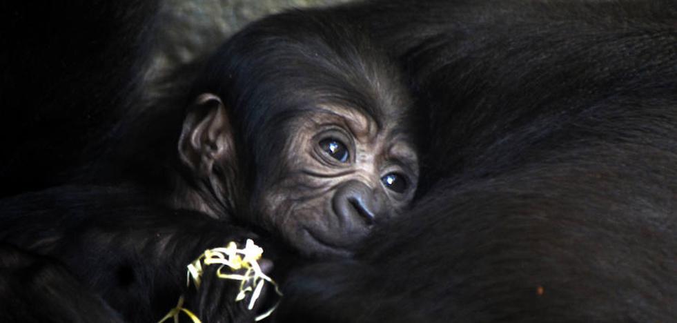 El tercer bebé gorila valenciano nace en Bioparc