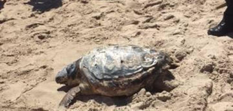 Hallan una tortuga muerta en la playa del Mareny Blau de Sueca