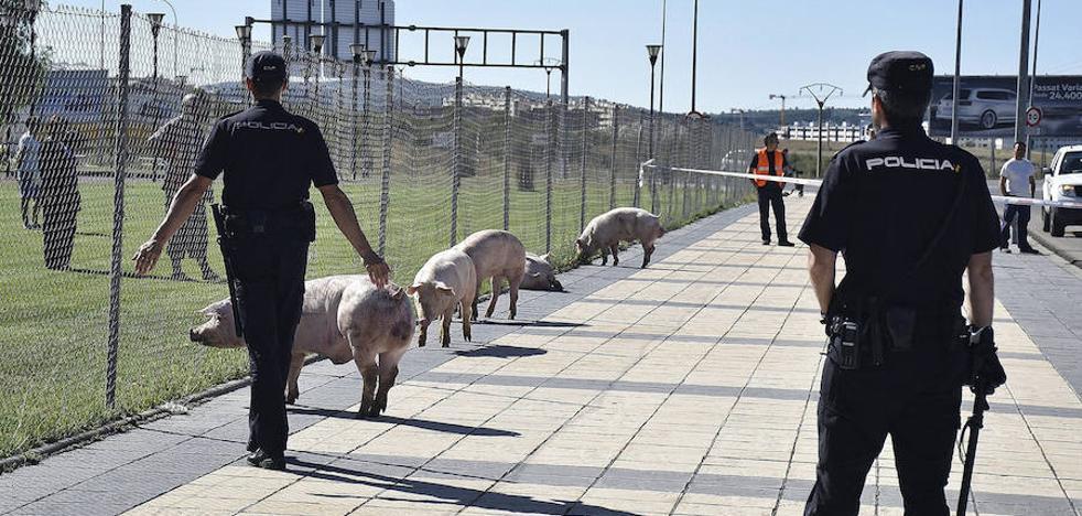 Una piara de cerdos deambula por Soria