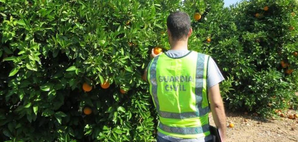 La Guardia Civil procede contra 10 personas por el origen ilícito de 858.000 kilos de naranjas