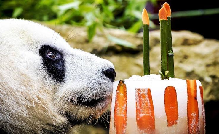 Fotos del cumpleaños del panda Xing Ya