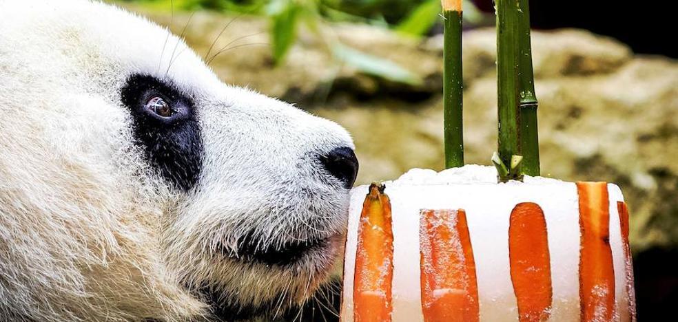 El oso panda «Xing Ya» ya tiene cuatro años