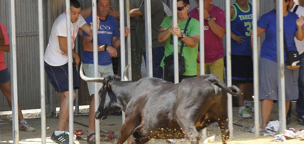 Un hombre resulta herido al ser corneado en los actos taurinos de la fiestas de Calp