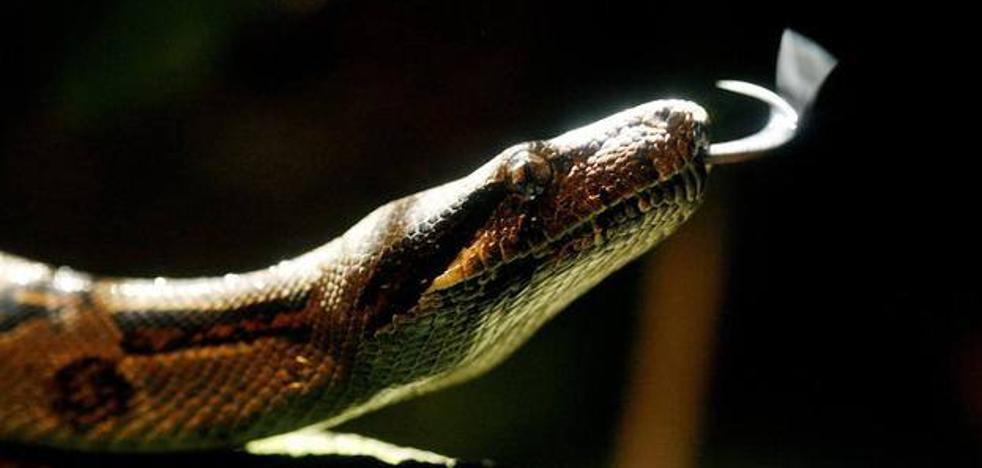 Buscan una serpiente pitón que un niño de 11 años ha perdido en Torrent