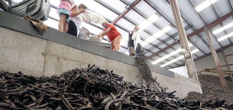 La Unió de Llauradors denuncia un mercado negro «consolidado» de algarrobas