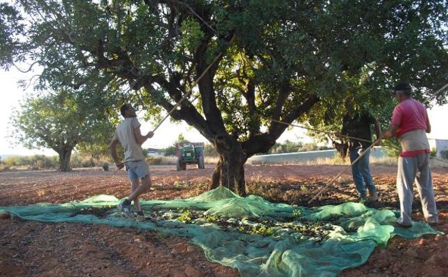 La Unió de Llauradors denuncia la existencia de un mercado negro de algarrobas robadas