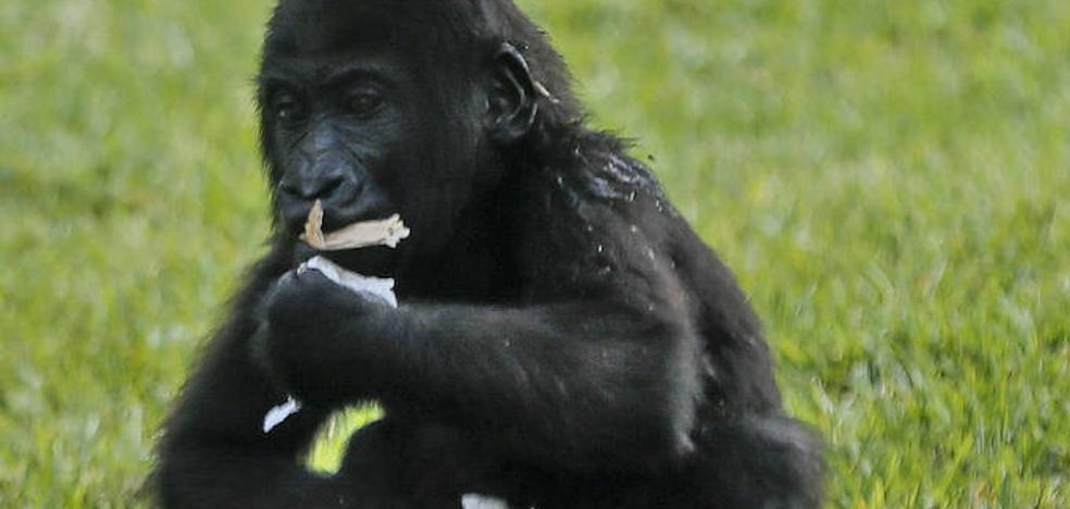 La gorila Virunga celebra su primer cumpleaños en Bioparc Valencia