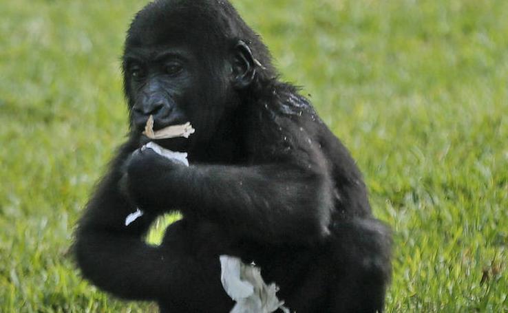 Fotos del cumpleaños de Virunga, la bebé gorila del Bioparc