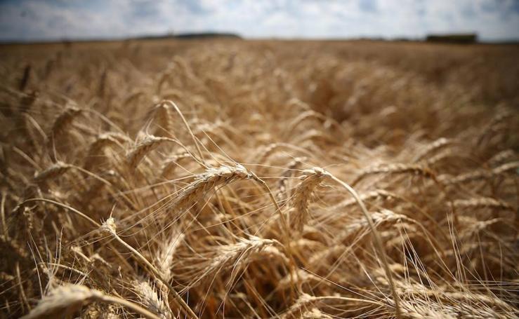 Fotos de la recogida anual de trigo en Moscú (Rusia)