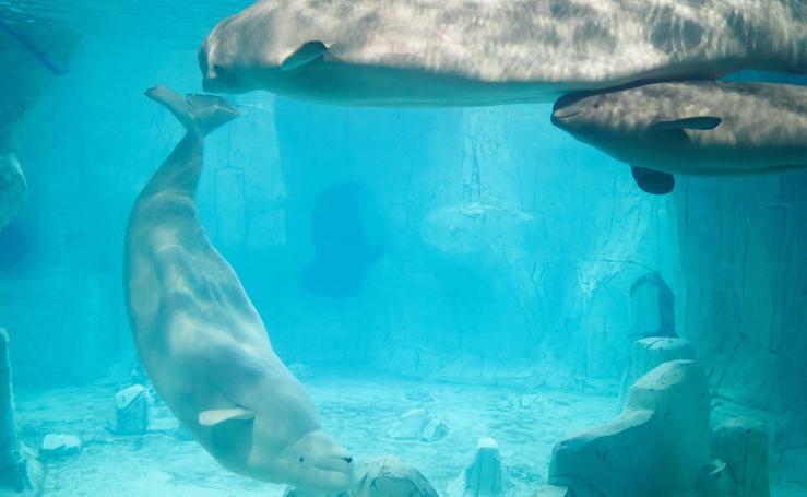 Fotos de la familia de belugas del Oceanogràfic de Valencia