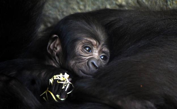 La cría de gorila nacida hace un mes en el Bioparc de Valencia es hembra