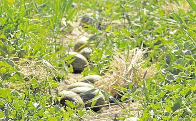 Investigado por robar más de 100 kilos de melones y sandías en una finca de Nules