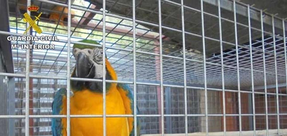 Desmantelados nueve criaderos ilegales de aves exóticas en Elche con 153 ejemplares