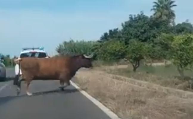 La vaca huida desde hace 12 días en Burriana ya tiene twitter