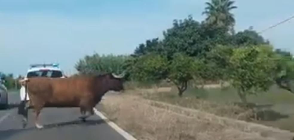 Atrapada una de las dos vacas que se escaparon del festejo de Burriana