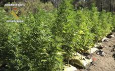 Detenido un hombre por cultivar 15 plantas de marihuana en una zona montañosa de Sueras