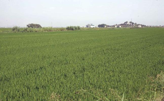 Los productores valencianos de arroz inician una cosecha mermada por el exceso de humedad
