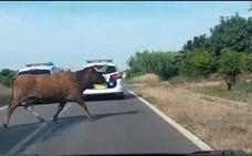 Bomberos y Protección Civil se involucran en la búsqueda de la vaca escapada del recinto taurino de Burriana