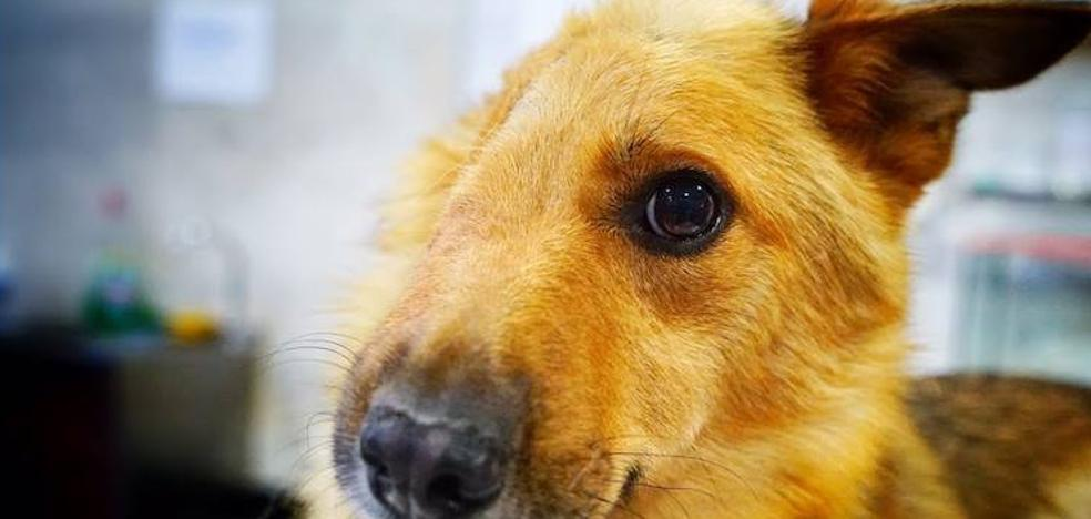 Sky, el perro al que le partieron media cara con una pala de obra, ya tiene hogar