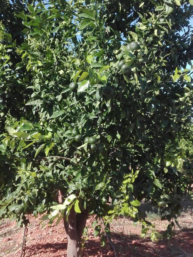 La Conselleria de Agricultura confirma que hay plantaciones ilegales de mandarina Sigal en la Comunitat Valenciana