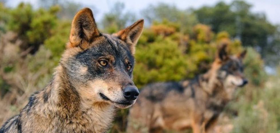 El lobo, en el punto de mira