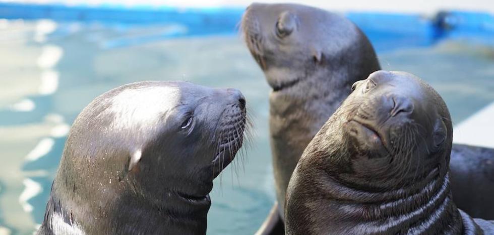 Nacen tres leones marinos en l'Oceanogràfic de Valencia