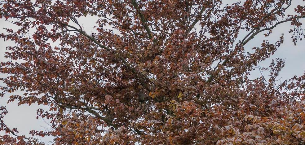 Dos pequeños búhos se camuflan en este árbol