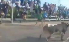 Un toro bravo se escapa de las fiestas de Les Alqueries en Castellón