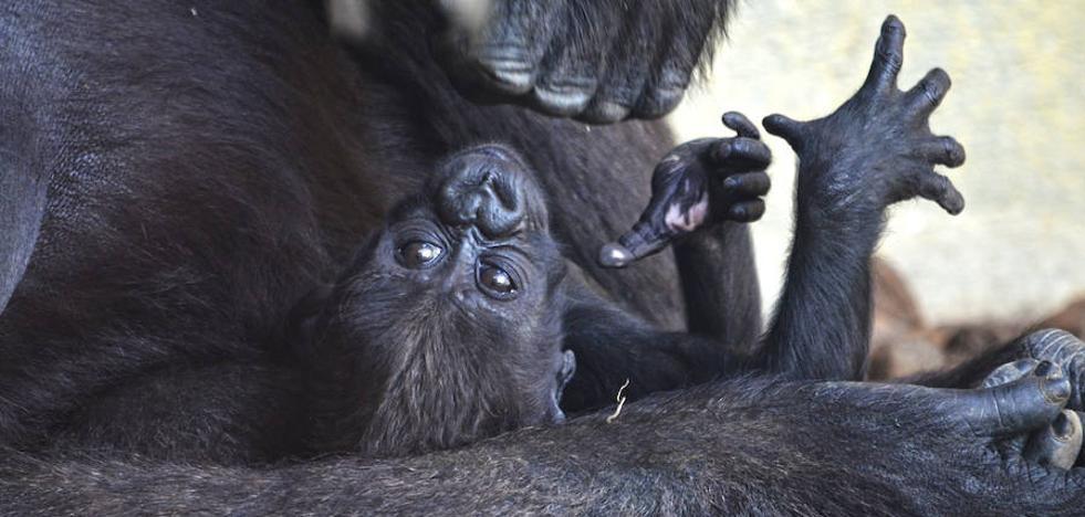 El tercer bebé gorila valenciano nacido en Bioparc se llama Mbeli