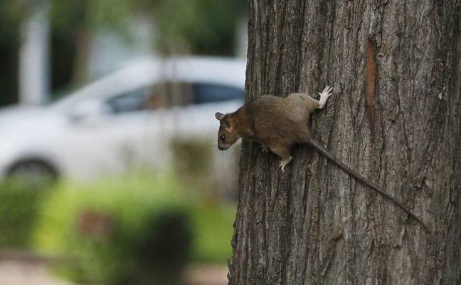 Ponen veneno para ratas tras 189 quejas vecinales