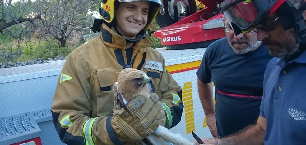 Los bomberos rescatan un águila calzada atrapada en un pino en Xàbia