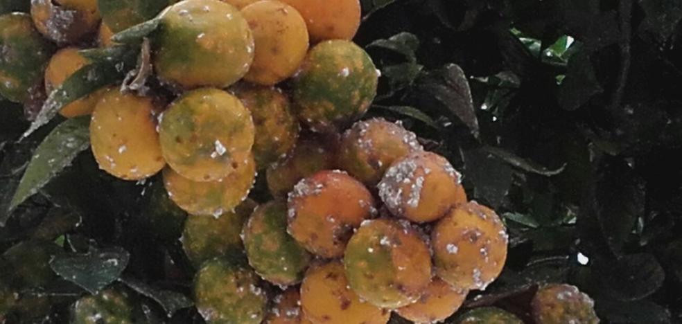 Una plaga de mosca blanca obliga a tratar más de 12.000 naranjos en toda la ciudad