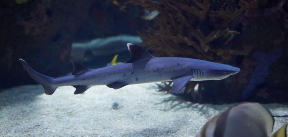 El Oceanogràfic de Valencia exhibe por primera vez dos ejemplares de tiburón de puntas blancas