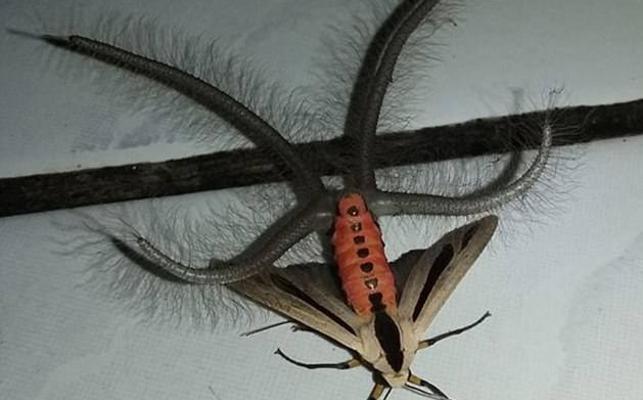 Este misterioso insecto con tentáculos está aterrorizando Australia