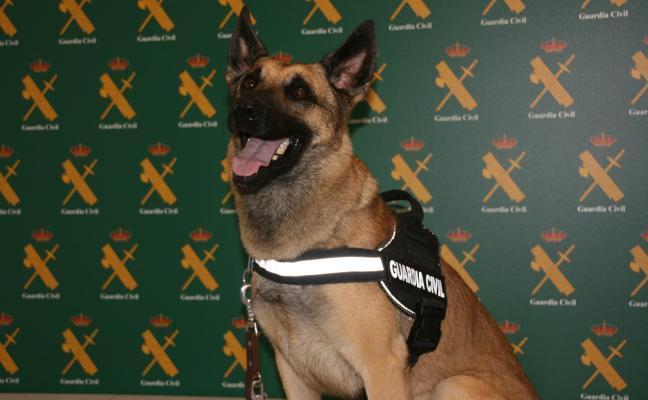 La Guardia Civil de Alicante 'recluta' al agente Floki, un perro detector de dinero