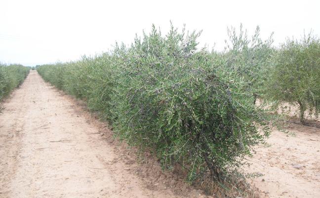 España se llena de olivos y almendros en superintensivo