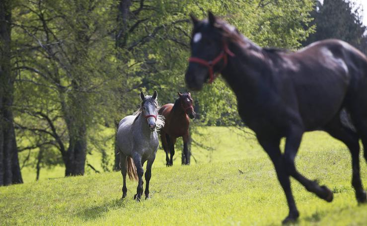 Fotos de caballos pura raza españoles en Chile
