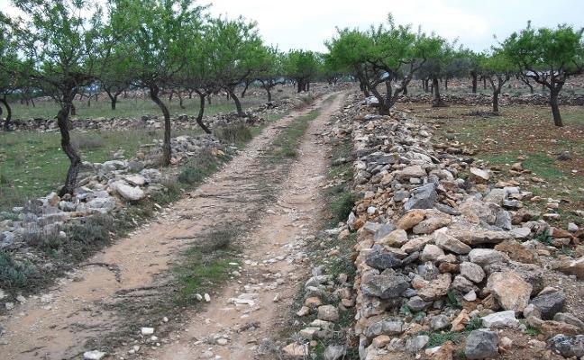 El Consell lanza un plan de reestructuración agraria para las áreas dañadas por la Xylella