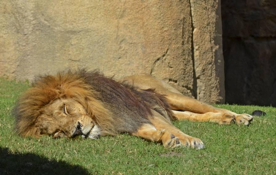 Fotos de Keops, uno de los primeros leones que llegó al Bioparc