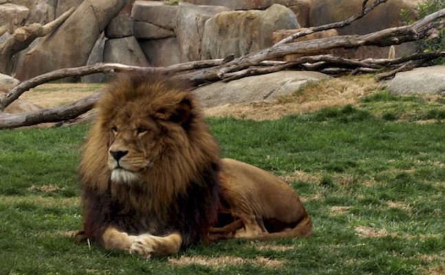 Muere Keops, el león del Bioparc de Valencia