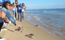 Cuatro tortugas soltadas hace un mes en El Saler ya han rebasado las Baleares
