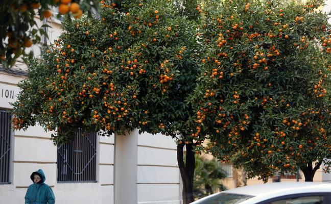 Naranjos a rebosar de fruta sin recoger