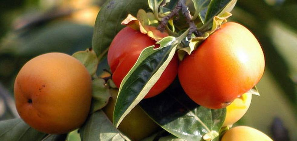 Pingguoshi, nueva fruta híbrida de manzana y caqui