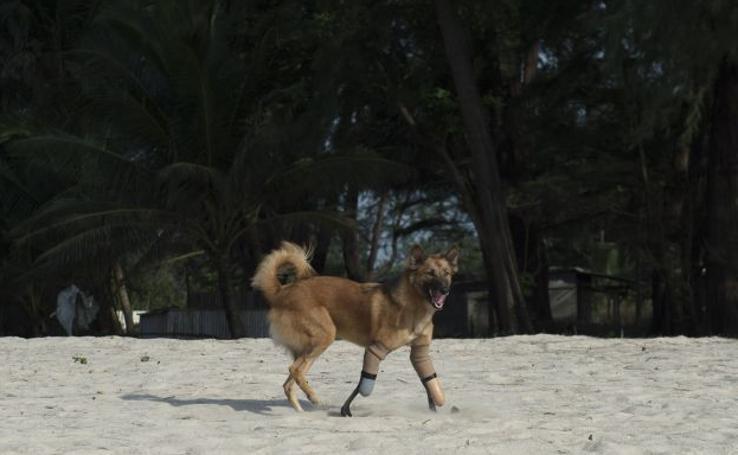 Fotos de Cola, el perro con prótesis humanas